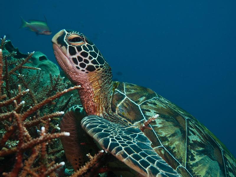 turtle scuba diving puerto galera
